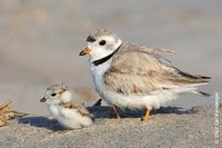 Adult and baby piping plover birds